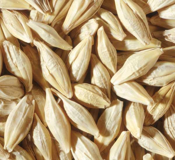 barley kernels