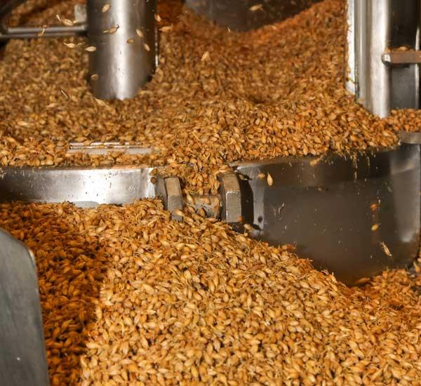 barley seeds going through processing machine